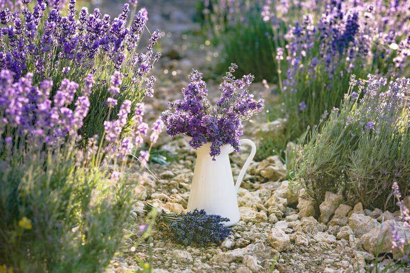 lavendel voor in de tuin