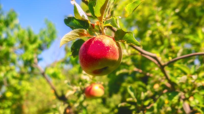 appels plukken in de tuin