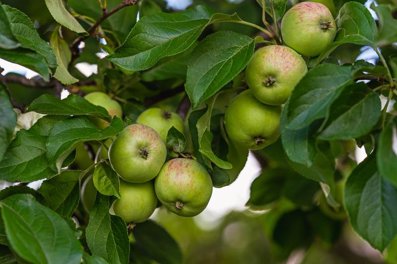 hoe pluk je appels